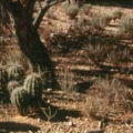 Q&AZ: Why Don't We See More Baby Saguaros?