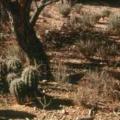 Q&AZ: Why Don't We See More Baby Saguaros?