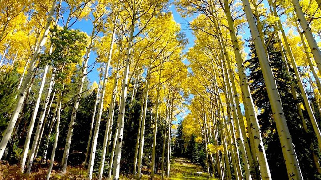 Fall aspen trees northern Arizona