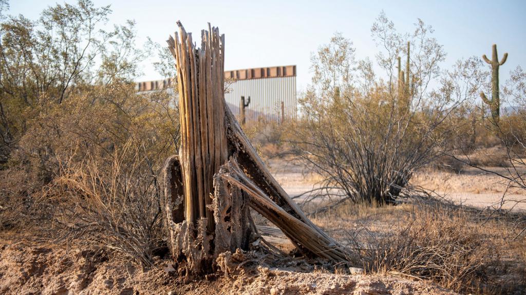 Dead saguaro border wall