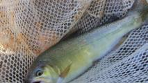Game And Fish Seeks Public Comment On Fish Stocking Program