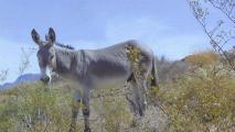 BLM feels heat over burro roundup