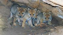 Captive-Born Wolves Found In Wild Packs In AZ