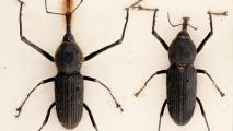 Invasive Palm Weevil Spotted In Arizona