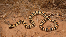 Center Petitions For Protection Of Shovel-Nosed Snake