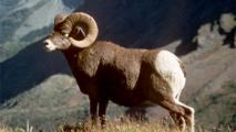 Researchers Explore Threat Of Pneumonia Among Bighorn Sheep In Grand Canyon