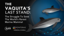 The Struggle To Save Vaquitas, The Worlds Rarest Marine Mammal