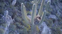 Myth is Reality: Discovery of Bald Eagles Nesting in a Saguaro Confirms Longtime Speculation