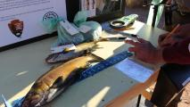 Attention AZ Anglers: Brown Trout Bounty Upped To $300