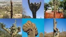 Q&AZ: What Shapes Saguaro Cacti?