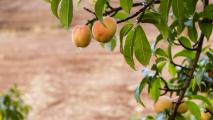 Arizona Highways: Growing Peaches In Canyon De Chelly