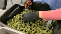 Can Workers Still Be Fired For Pot  Use After Prop 207?