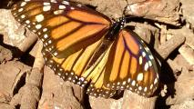 Whats Behind The Decline In Butterfly Populations?