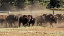 Dozens Of Bison Relocated From Grand Canyon North Rim