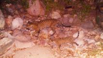 Jaguar Cub Seen In Photos, Video On Sonoran Reserve