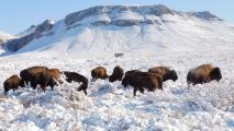 Hunting Concerns Emerge After Bison Reintroduced In Northern Mexico