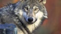Suspected Gray Wolf To Be Caught And Tested