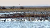 Record Number Of Sandhill Cranes Winter In Arizona This Year