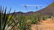 For Ancestral Sonoran Spirit Bacanora, Conservation Is The Future