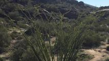 Q&AZ: What Makes An Ocotillos Leaves Grow?