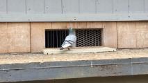Phoenix Council: Don't Feed Pigeons