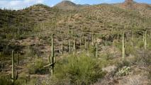Low Reproduction Numbers Worry Saguaro National Park Experts