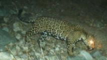 Study: Vast Swath Of AZ, NM Could Support Jaguars