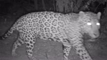 Jaguar Sighting Near Arizona-Sonora Border Brings Hope