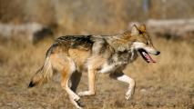 Mexican gray wolves recovering despite I-40 boundary