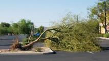 Q&AZ: If Palo Verdes Are Native, Why Do They Fall During Monsoons?