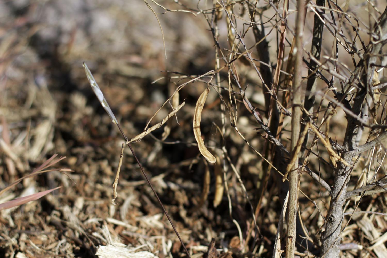 Untold Arizona: Arizona-Grown Tepary Beans Preserve The Past