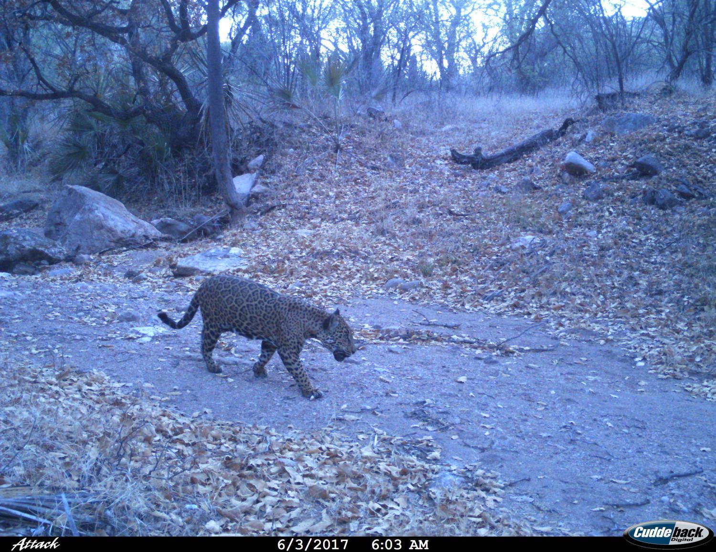 Courtesy of the Northern Jaguar Reserve