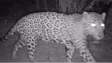 Study Makes Case For Jaguar Reintroduction In Arizona, New Mexico