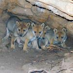 A Mexican wolf litter i