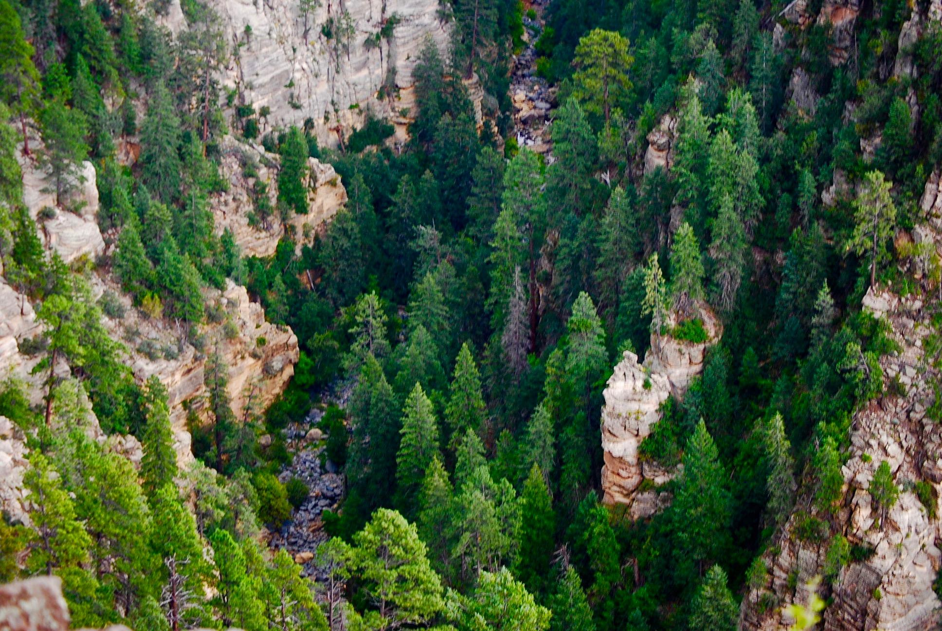 Pine trees in an Arizona canyon
