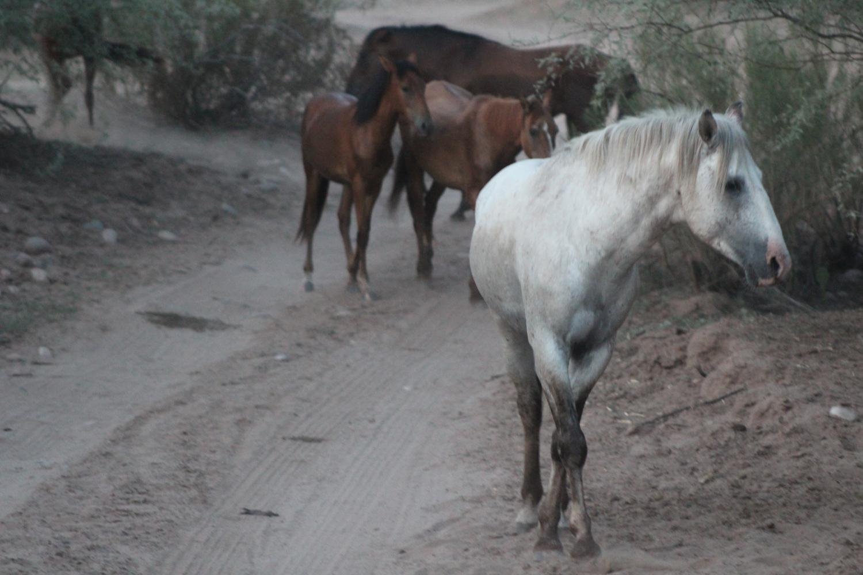 wild horse along the Salt River