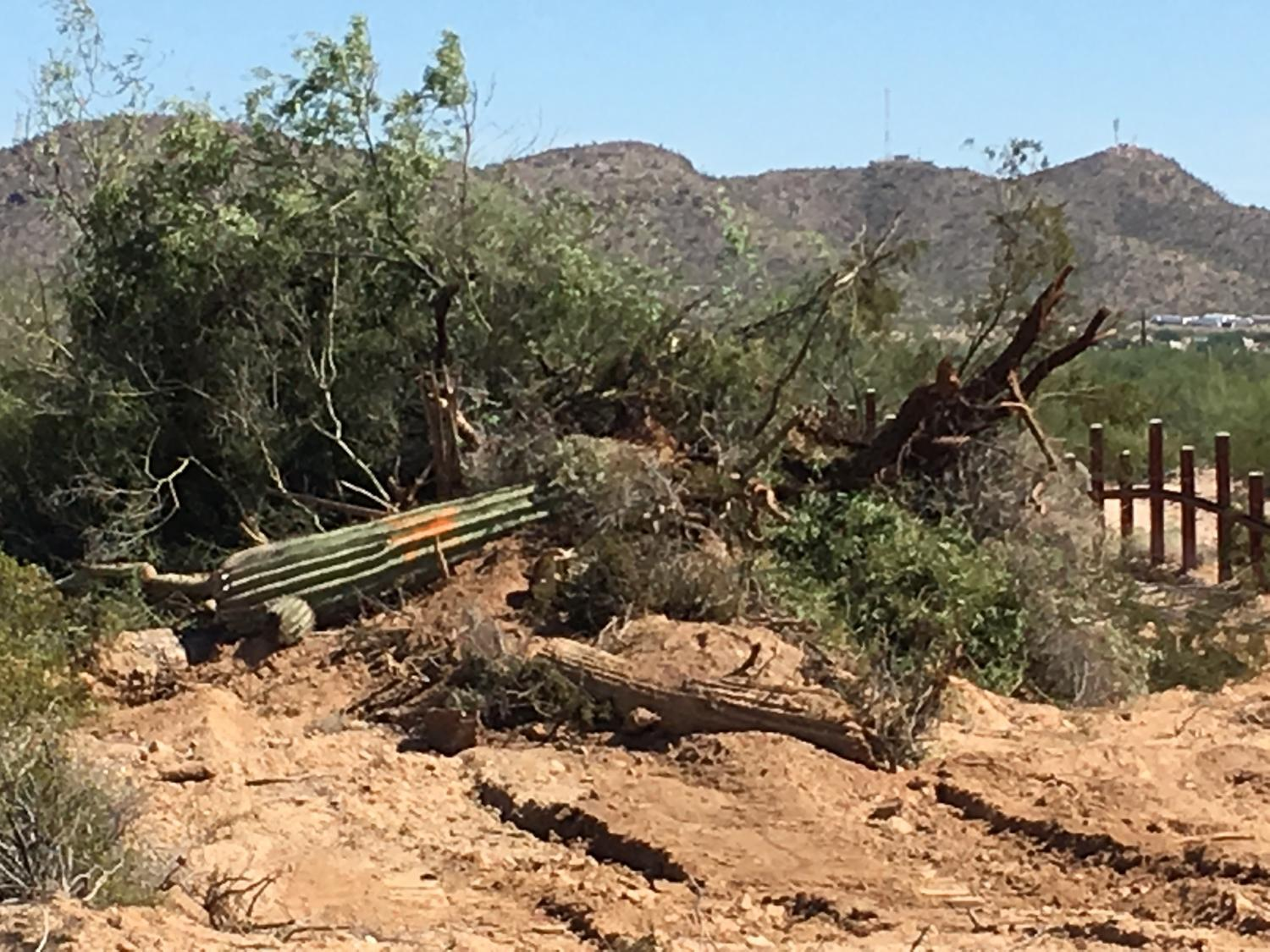 Saguaro cactus bulldozed to build border wall