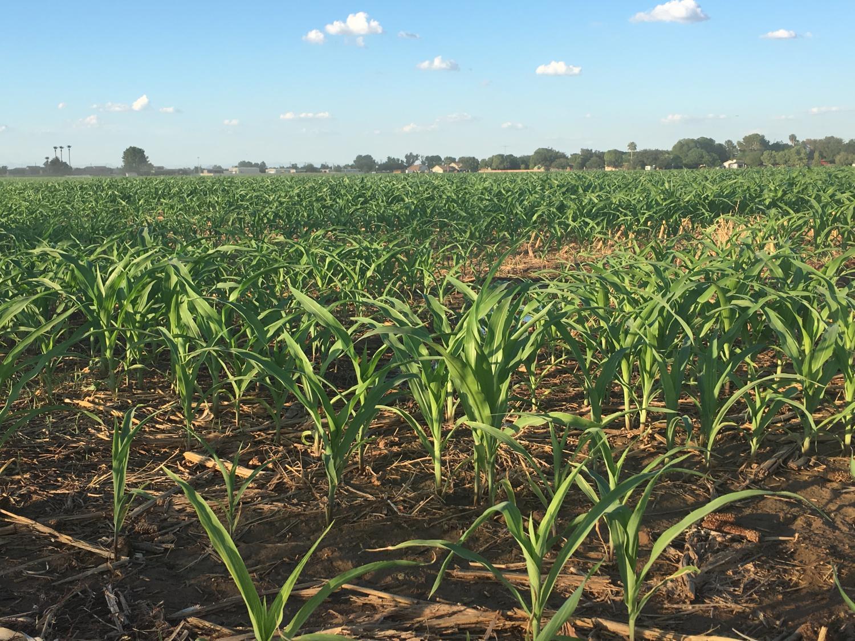 corn  in field