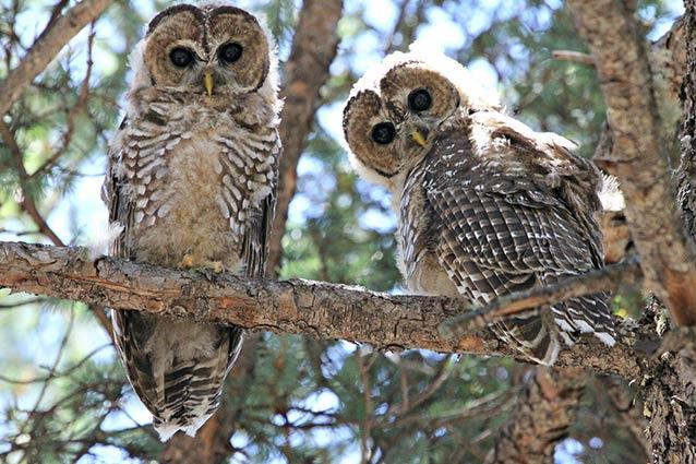 A pair of Mexican spotted owl fledglings