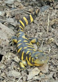 Sonoran Tiger Salamander