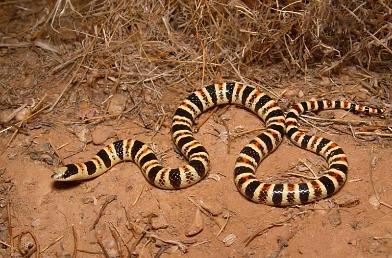 Tucson shovel-nosed snake.