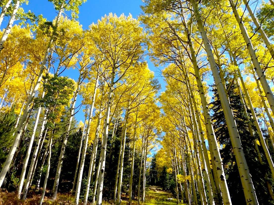 Fall aspen trees northern Arizona