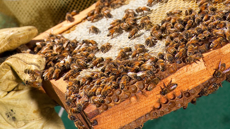 comb of honey bees