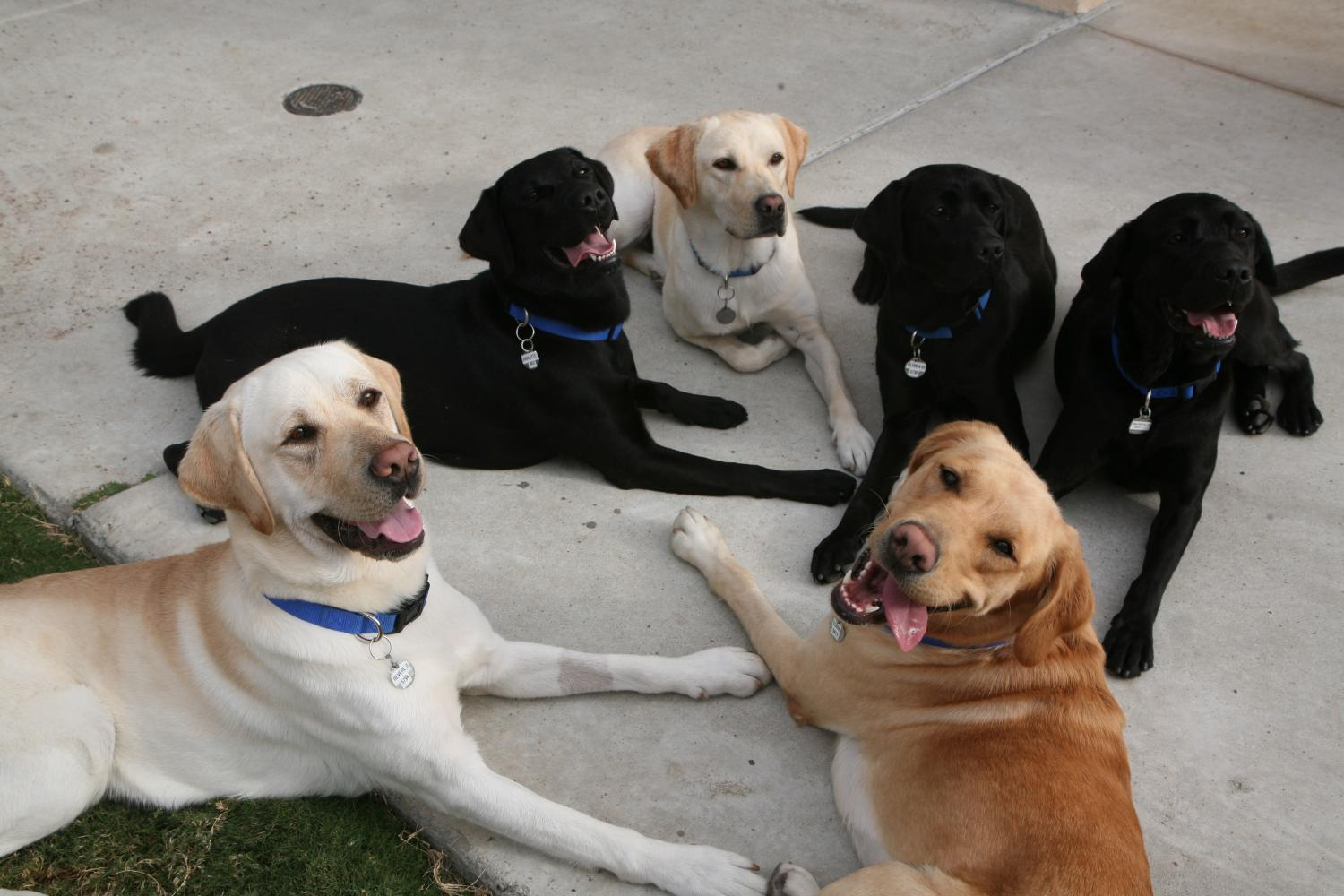 Several dogs lounge at the CCI training center