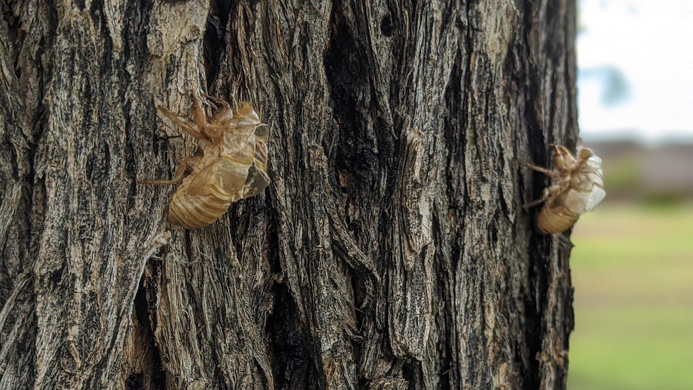 Cicada exoskeletons on a tree
