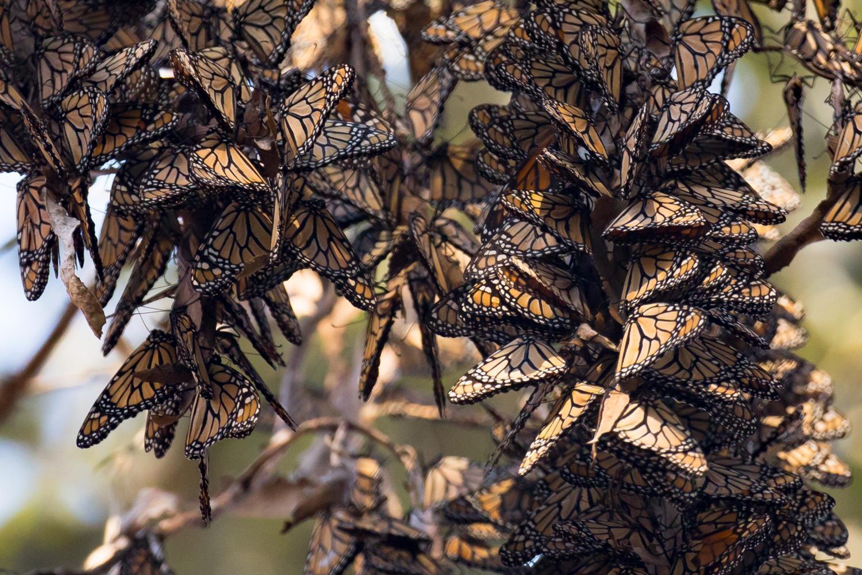 Western Monarch Butterfly