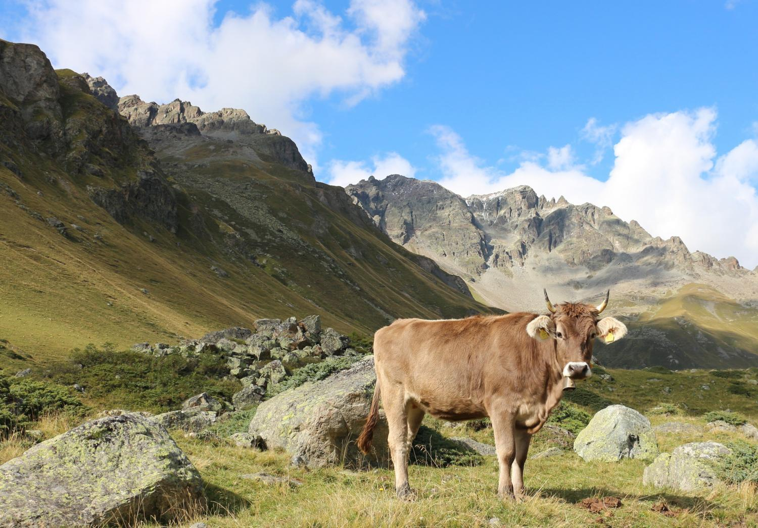 A cow in the Italian Alps