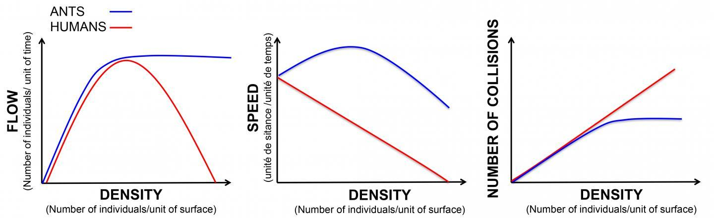 chart comparing traffic as a function of density in ants and humans