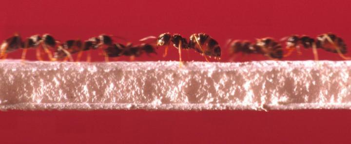 Ants running on a bridge
