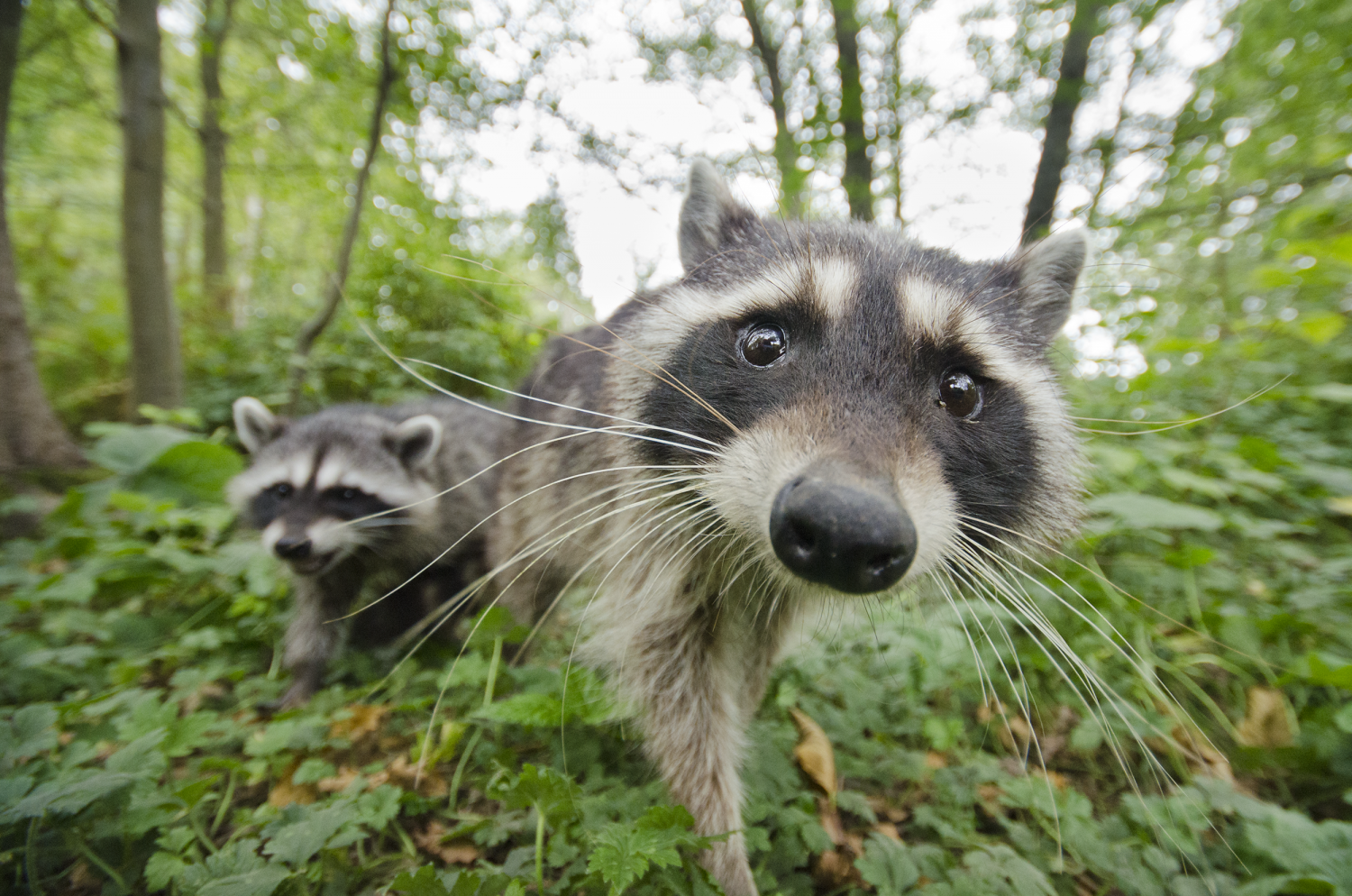 A photo of raccoons